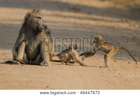 Baboons Playing On Dirt Road With Mother Watching