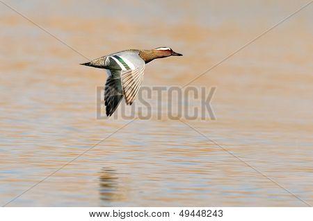 wild duck (anas querquedula)