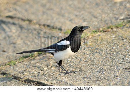 magpie outdoor (pica caudata)