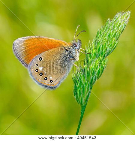 butterfly outdoor (ce. glycerion)