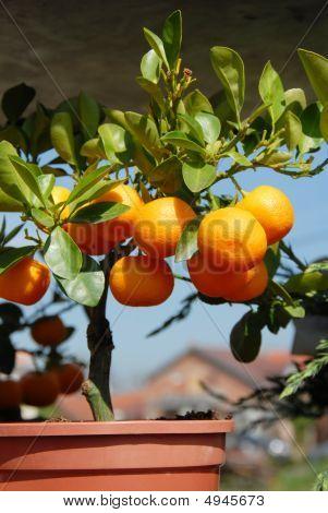 Planting Mandarins