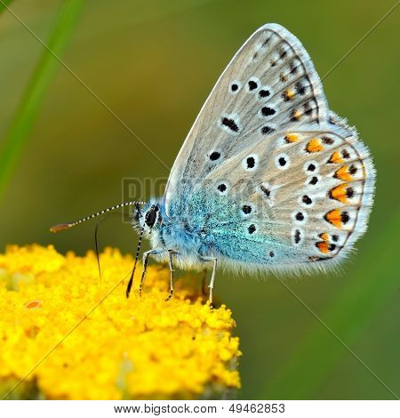 butterfly outdoor (polyommatus icarus)