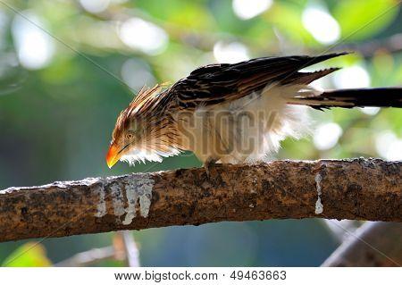 cuckoo (guira guira)