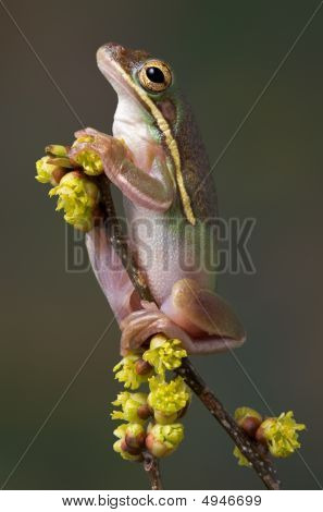 Green Tree Frog On Spring Plant.