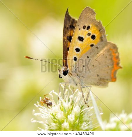 butterfly outdoor (lycaena dispar)