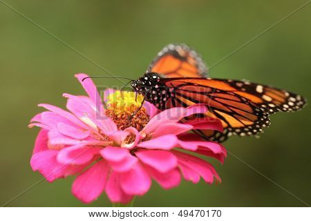 Orange Monarch Butterfly on Pink Flower