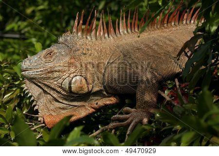 Large Iguana in Costa Rica