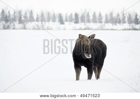 Winter Moose