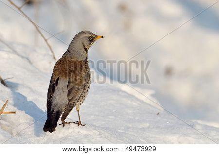 thrush outdoor in winter (Turdus Obscurus)