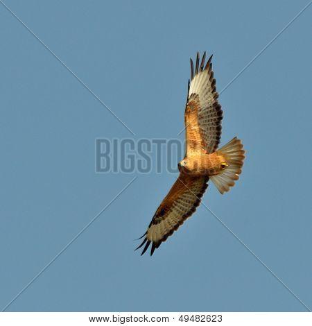 common buzzard flying (buteo buteo)