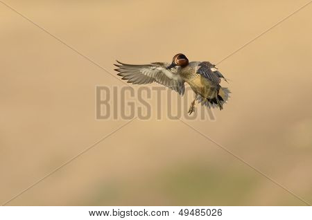 wild duck flying (anas crecca)