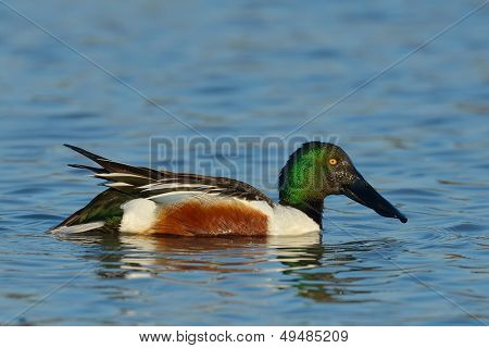 wild duck flying (anas clypeata)