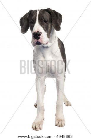 Great Dane Puppy (6 Months Old)