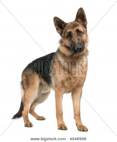 German Shepherd (8 Months)