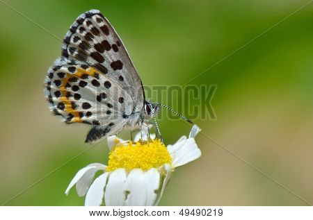 Schmetterling im natürlichen Lebensraum (Scolitantides Orion)