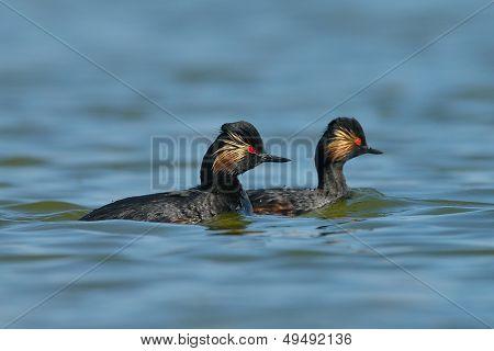 water birds on the lake (podiceps nigricollis)