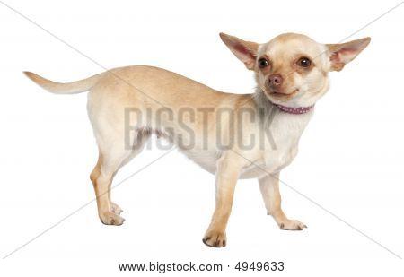 Chihuahua (11 meses velho)