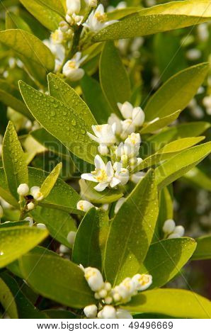 citrus tree branch with flowers as background