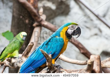 Blue And Gold Macaw Bird