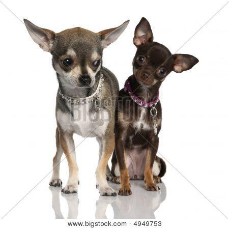 Casal de Chihuahua (8 meses e 19 meses velho)