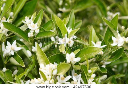 orange tree branch with flowers