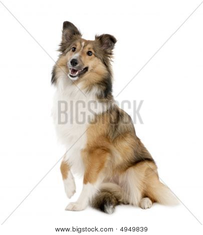 Sheltie (8 Months Old)
