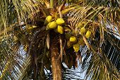 stock photo of naturist  - Zoomed shot of Tropical Coconut Tree top - JPG