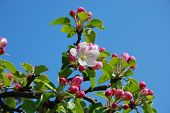 picture of apple blossom  - the image shows a beautiful blooming apple - JPG