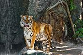 stock photo of wildcat  - Female wild tiger from Thailand taken in a sunny day can be use for related wild animal concepts and conservation print outs - JPG