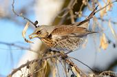 pic of brown thrush  - thrush on branch in winter  - JPG