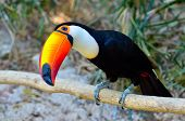 stock photo of toucan  - toucan outdoor  - JPG