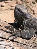 pic of goanna  - Goanna or Lace Monitor Lizard of Australia - JPG