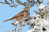 image of brown thrush  - red wing thrush  - JPG