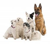 Group Of German Shepherd, Border Collie And Some Crossbreed