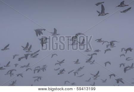 Flock Of Barnacle Geese