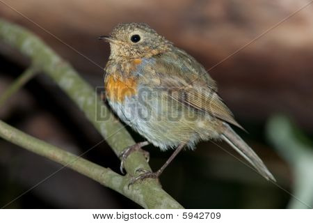 Robin (erithacus Rubecula).