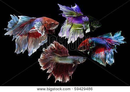 Siamese Fighting Fish isolated on black .Clipping path included.