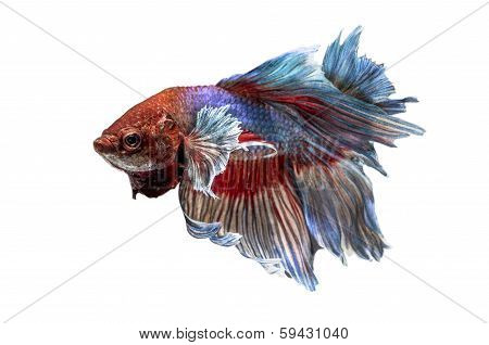 Siamese Fighting Fish isolated on white .Clipping path included.