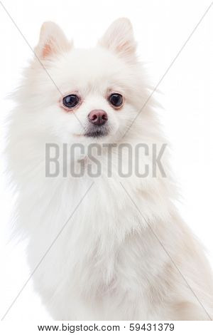 White pomeranian dog isolated on white