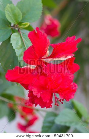 Hibiscus schizopetalus or Coral Hibiscus