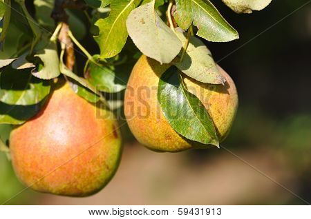 Russet pears growing in a pear tree