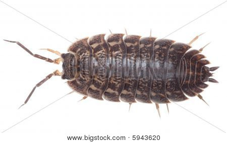 Brown Big Wood Louse - Porcellio Scaber