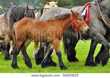 Brabancon foal