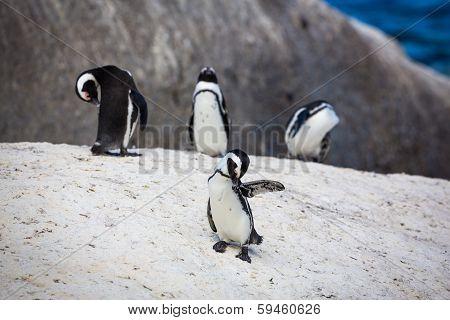 Grooming Penguins