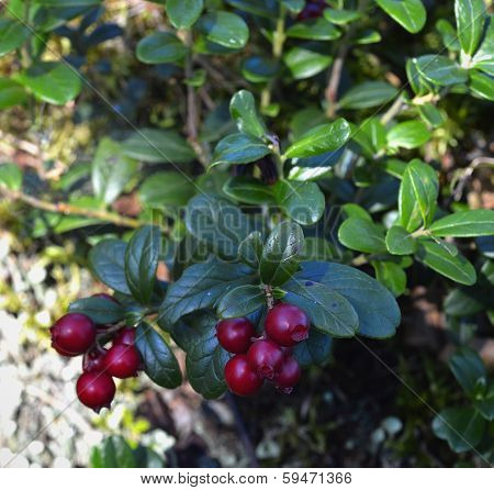 Ripe Red Cowberry Close Up.