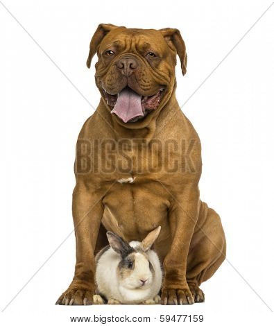 Front view of a Dogue de Bordeaux panting, sitting with a rabbit, isolated on white
