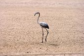 foto of greater  - Juvenile Greater Flamingo Walvis Bay - JPG