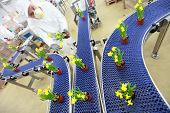 flowers,daffodils, on conveyor belt,production line,contemporary business