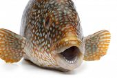 image of grouper  - Close up of a grouper fish on white background - JPG