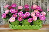 picture of lobelia  - Pink Bellis perennis in a window flower box - JPG